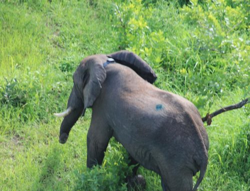 First LoRaWAN® Elephant Collar successfully deployed in Liwonde