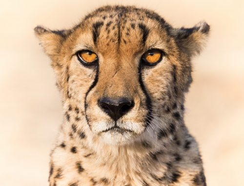 World's first Cheetah Smart Parks at Cheetah Conservation Fund Centre