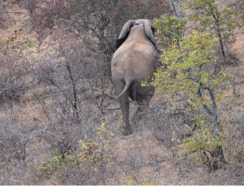 First LoRaWAN® Elephant Collars successfully deployed in the Central Tuli Game reserve
